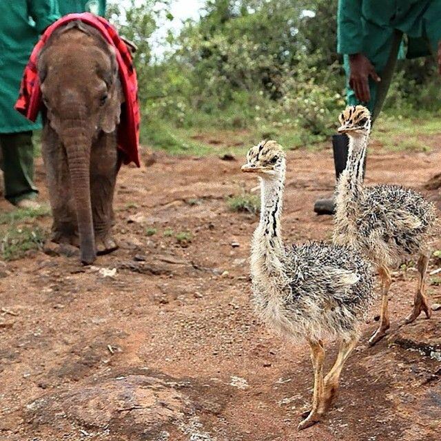 ostrich-snuggles-orphaned-elephants-1_e