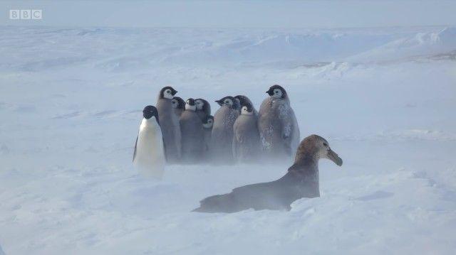 penguinchicks10_e