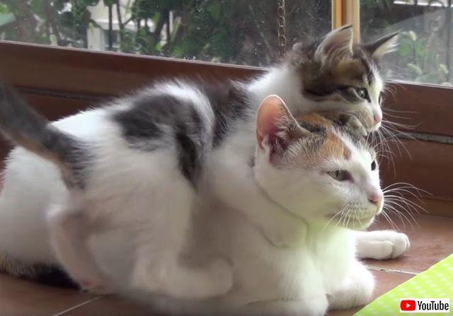 元気すぎる子猫たちと辛抱強い母猫のコントラスト。最後は家族みんなでお昼寝タイムが待ってるよ