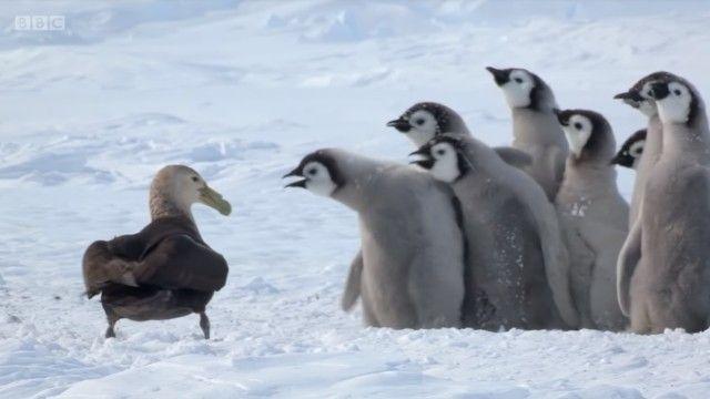 penguinchicks6_e