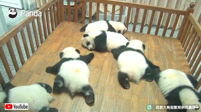 子パンダズは夢の中で泳ぎの練習中?相変わらずまったり気分のジャイアントパンダたちに会いに行こう