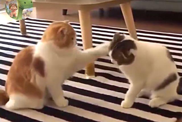 catcat1