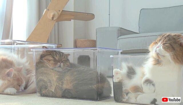 そこに箱があるのなら!7匹の猫ズ、液状化して自らプラケに詰められる
