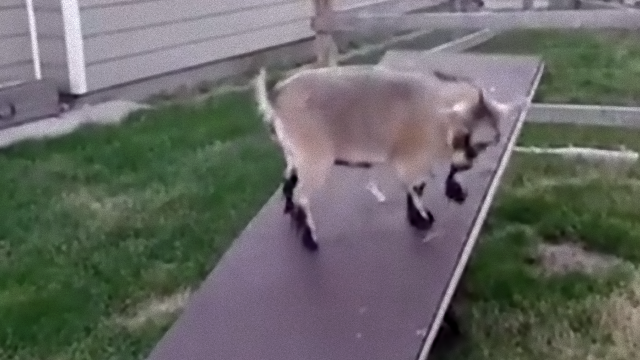 goat-1_e