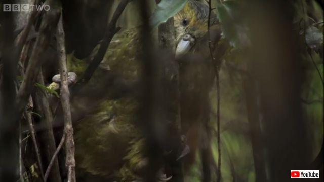 kakapo4_640