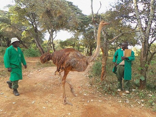 ostrich-snuggles-orphaned-elephants-3_e