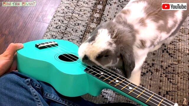 rabbitplaysguitar5_640