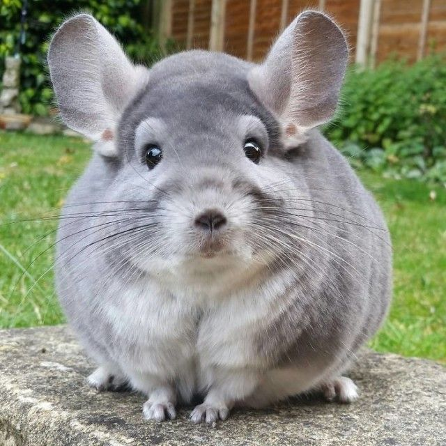chinchilla10