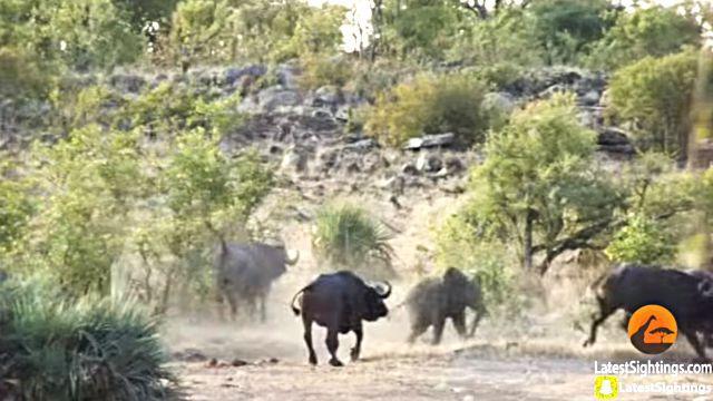 Buffaloes7