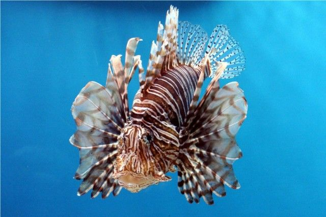 Lion-Fish_e