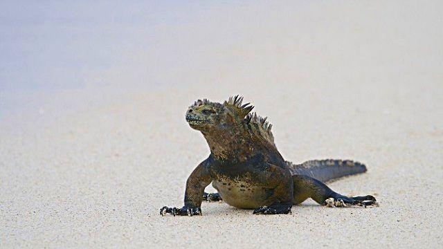 Marine-Iguana-6_ea