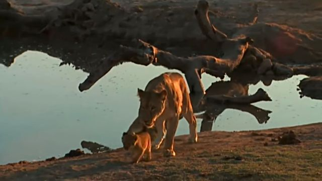 lionbaby2