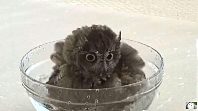 owlbaby1