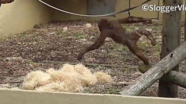 orangutanbaby3