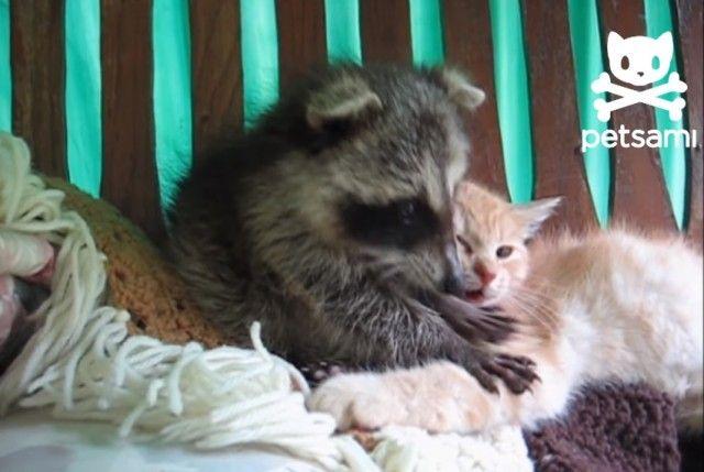 raccooncat3_e