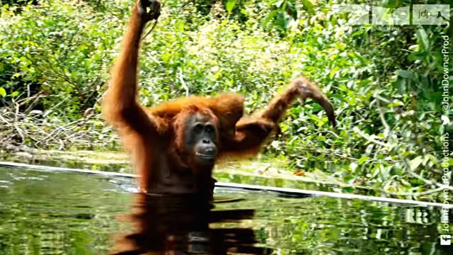 orangutansnsoap1