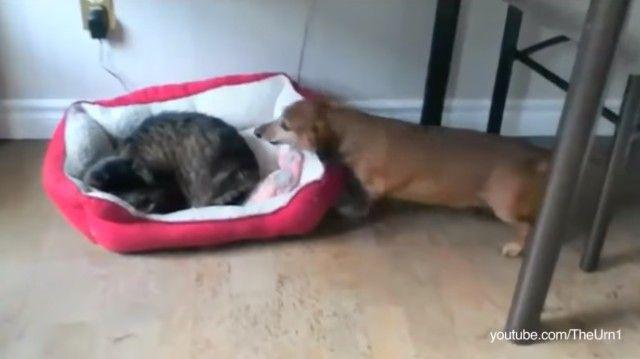 catstealingdogbeds5_e