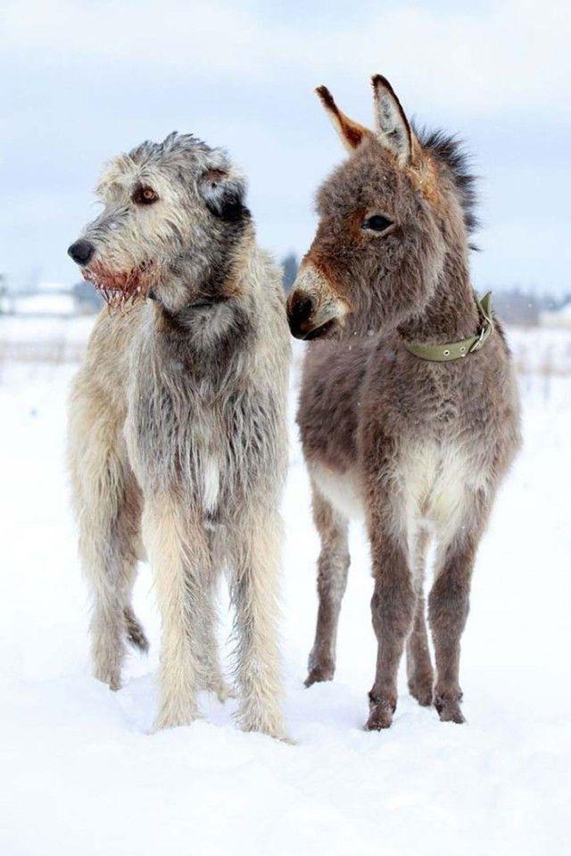 Funny-Irish-Wolfhounds-91-5c1cc24a47e0a__700_e