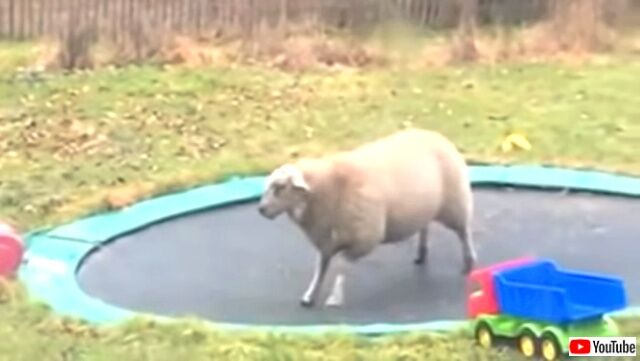sheepntrampoline1_640