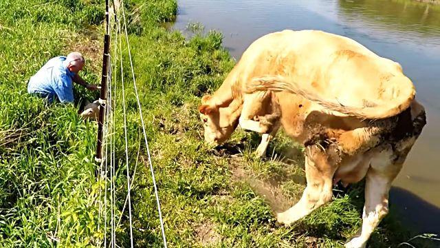cowsmom6