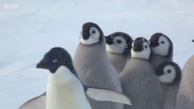 penguinchicks9_e
