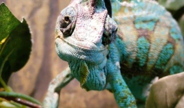 chameleon0_e