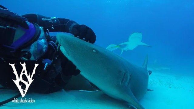 sharksayshi5_e