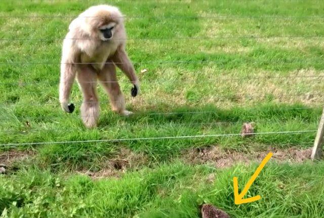 gibbon2