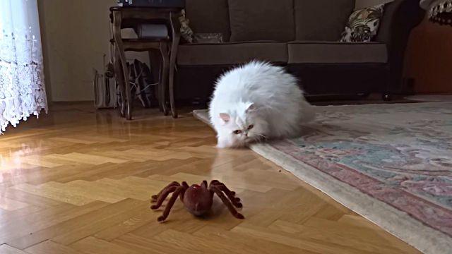catnspider1