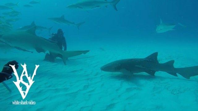 sharksayshi1_e