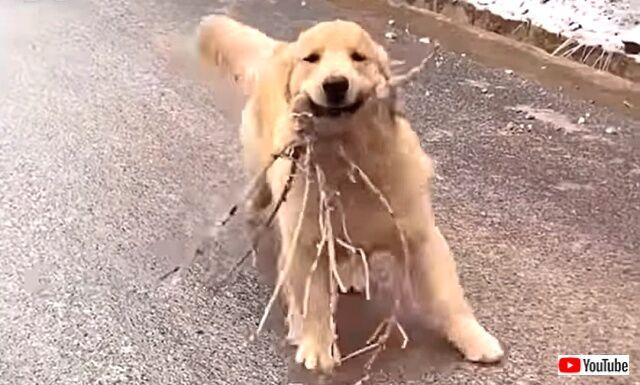 愛犬の「見て見て~!イイモノ拾ってきたヨ!」凍った坂道をどや顔で走り下りて来るゴールデン