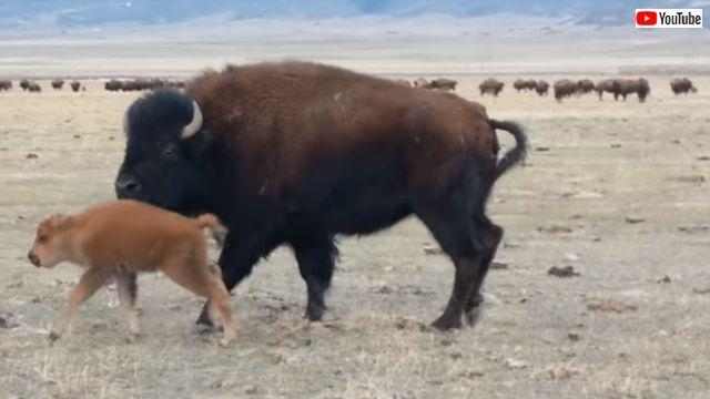 bison6_640