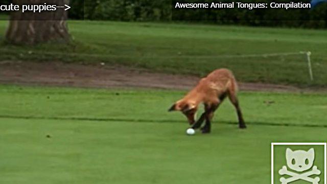golfballfox4