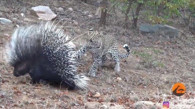 porcupinenleopard3_e