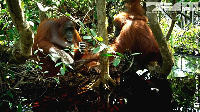 orangutansnsoap5