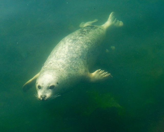 743px-Pinniped_underwater_e