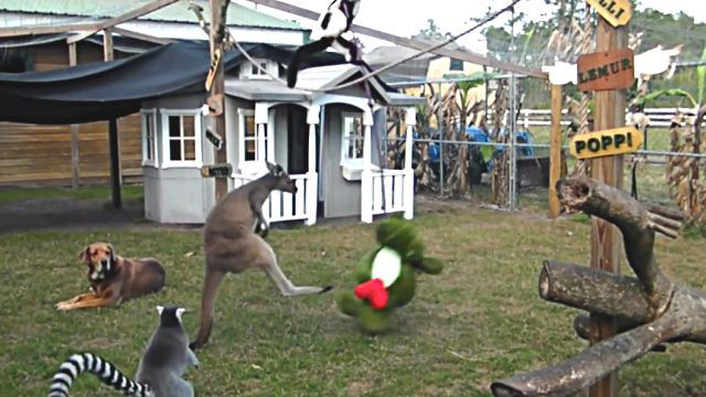 kangaroohippo3