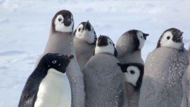 penguinchicks11_e