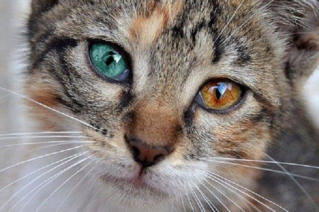 Heterochromic-Eyed-Cat-7_e