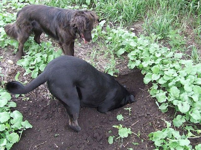 dogs-digging_e