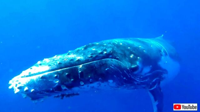 humpbackwhale1_640