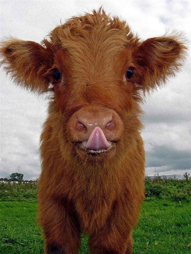 cow_e