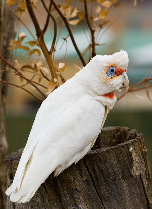 Long-billed_Corella_e