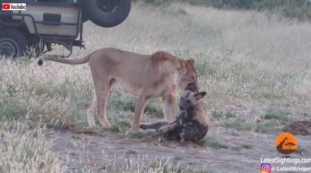 えっ、まさか生きていたの?決死の「死んだふり」でまんまとライオンから逃れたリカオン