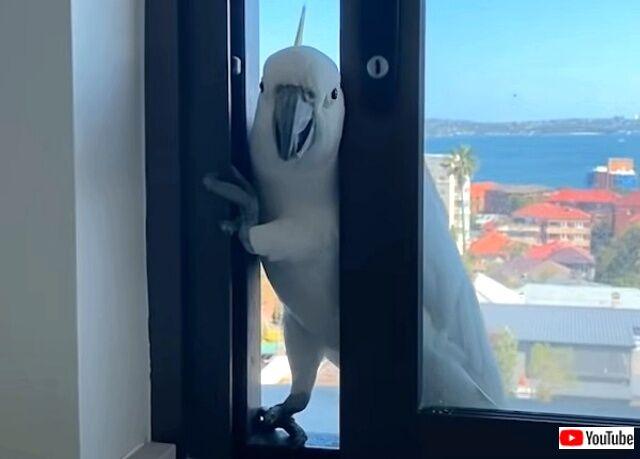 窓から侵入を試みるオウム、家主に見つかって「ハロー」と可愛く返事をする