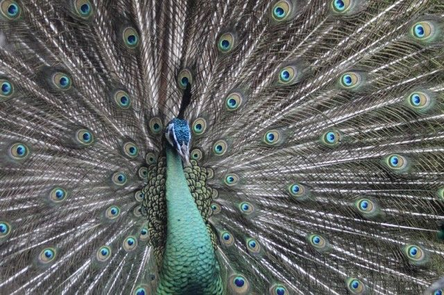 beautiful-peacock_e
