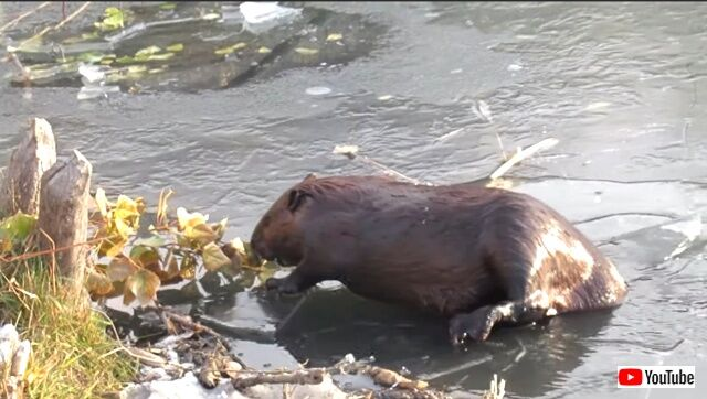 beaverbreaks3_640