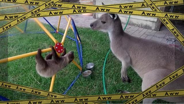 kangaroo [www-frame