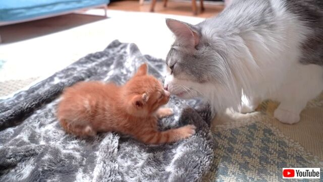 子猫が家にやって来た!先住猫と先住犬とのドキドキ・ファーストエンカウンターは大成功に終わったよ!
