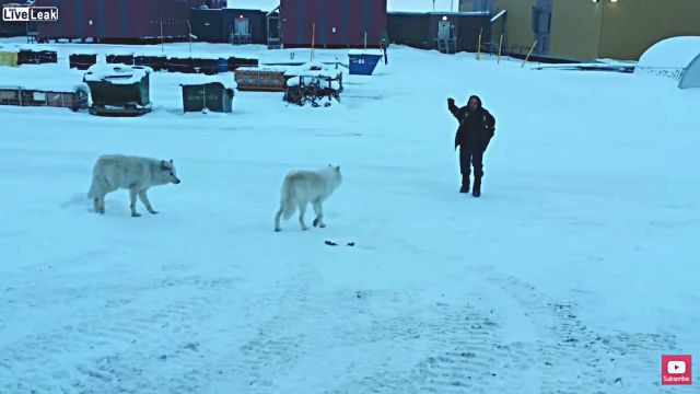 arcticwolf4